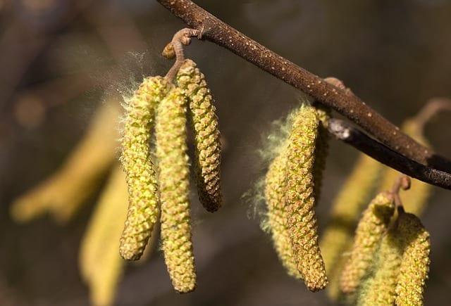 Allergie Pollen Heuschnupfen